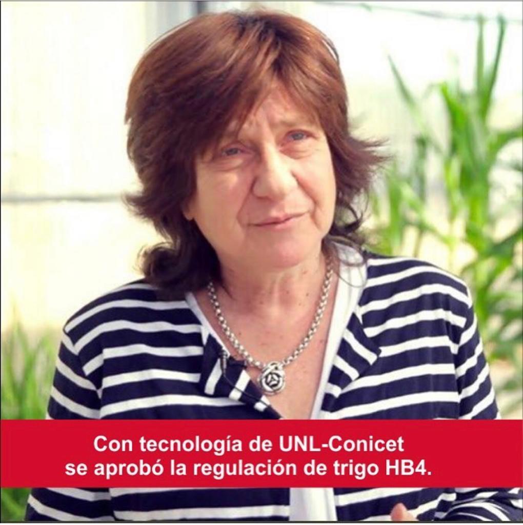 Con tecnología de UNL-Conicet, se aprobó la regulación del trigo HB4